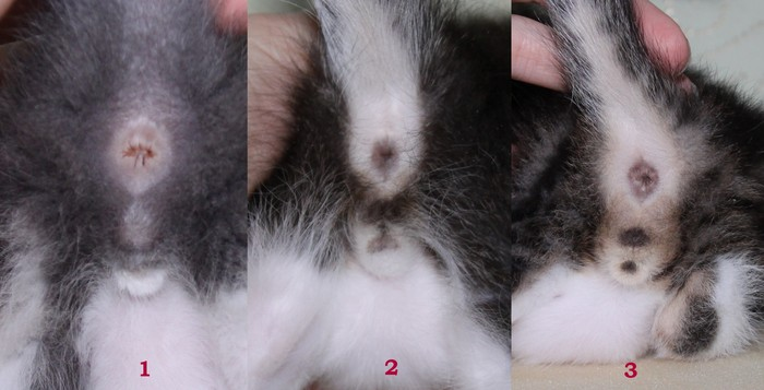 Котик или кошечка: как определить пол котёнка в раннем возрасте