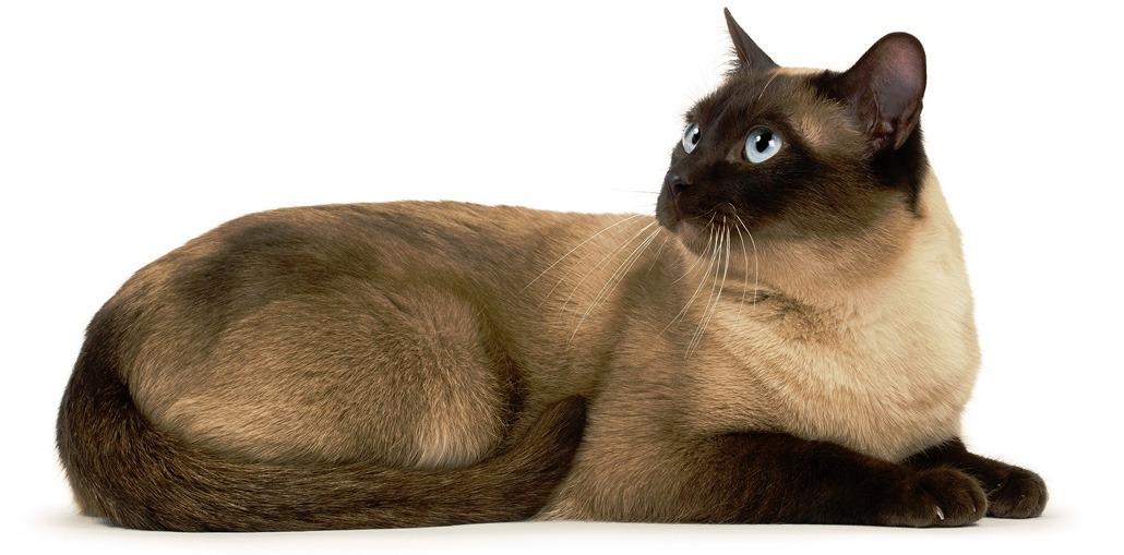 Тонкинская кошка: описание породы и особенности