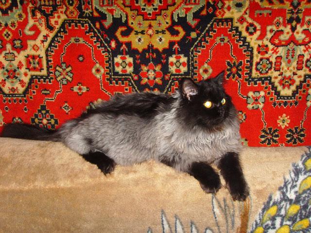 Седеют ли кошки от старости