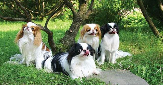 Японский хин (собака): описание породы, характер