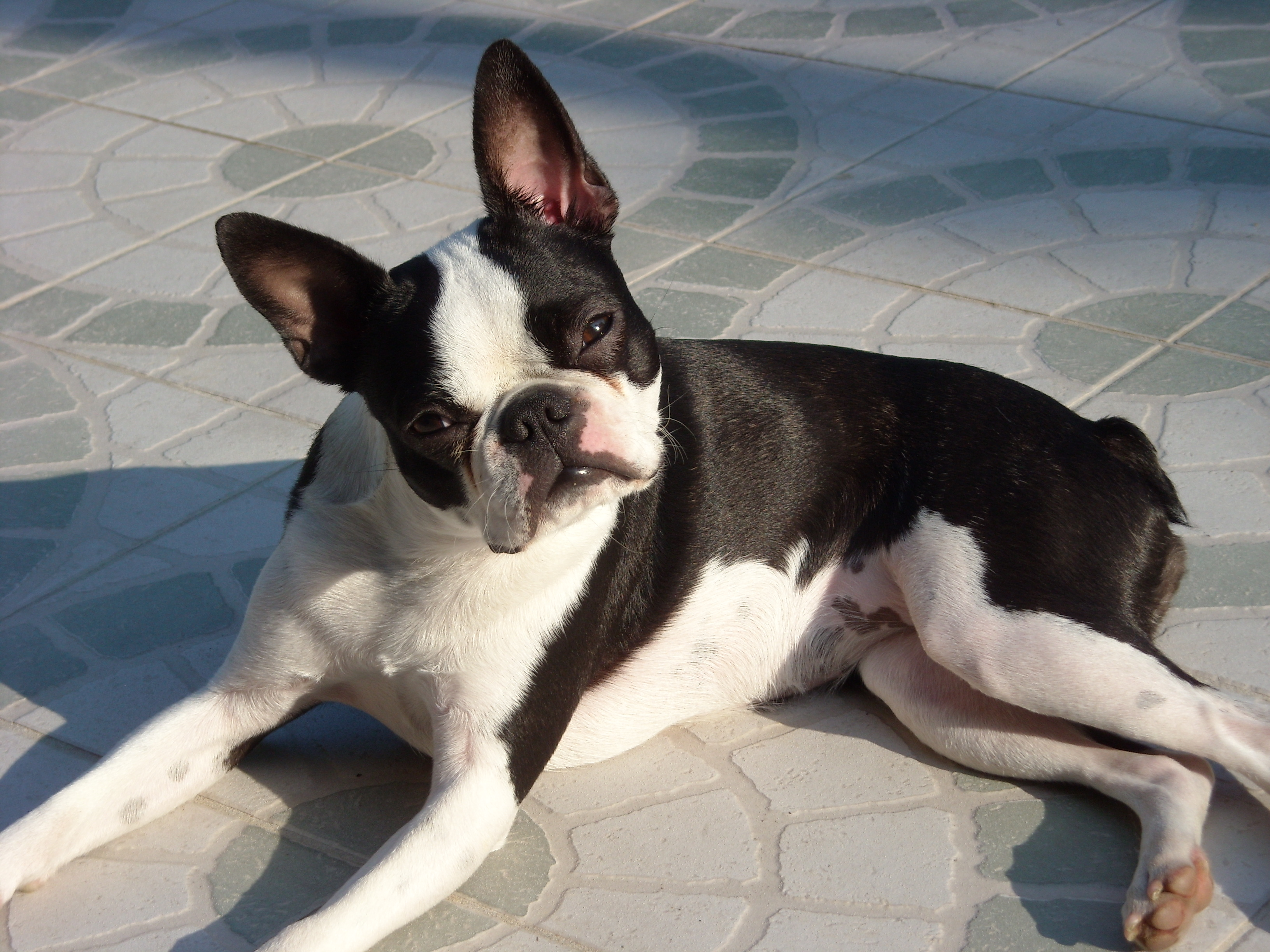 Топ-10 пород собак, которые не линяют