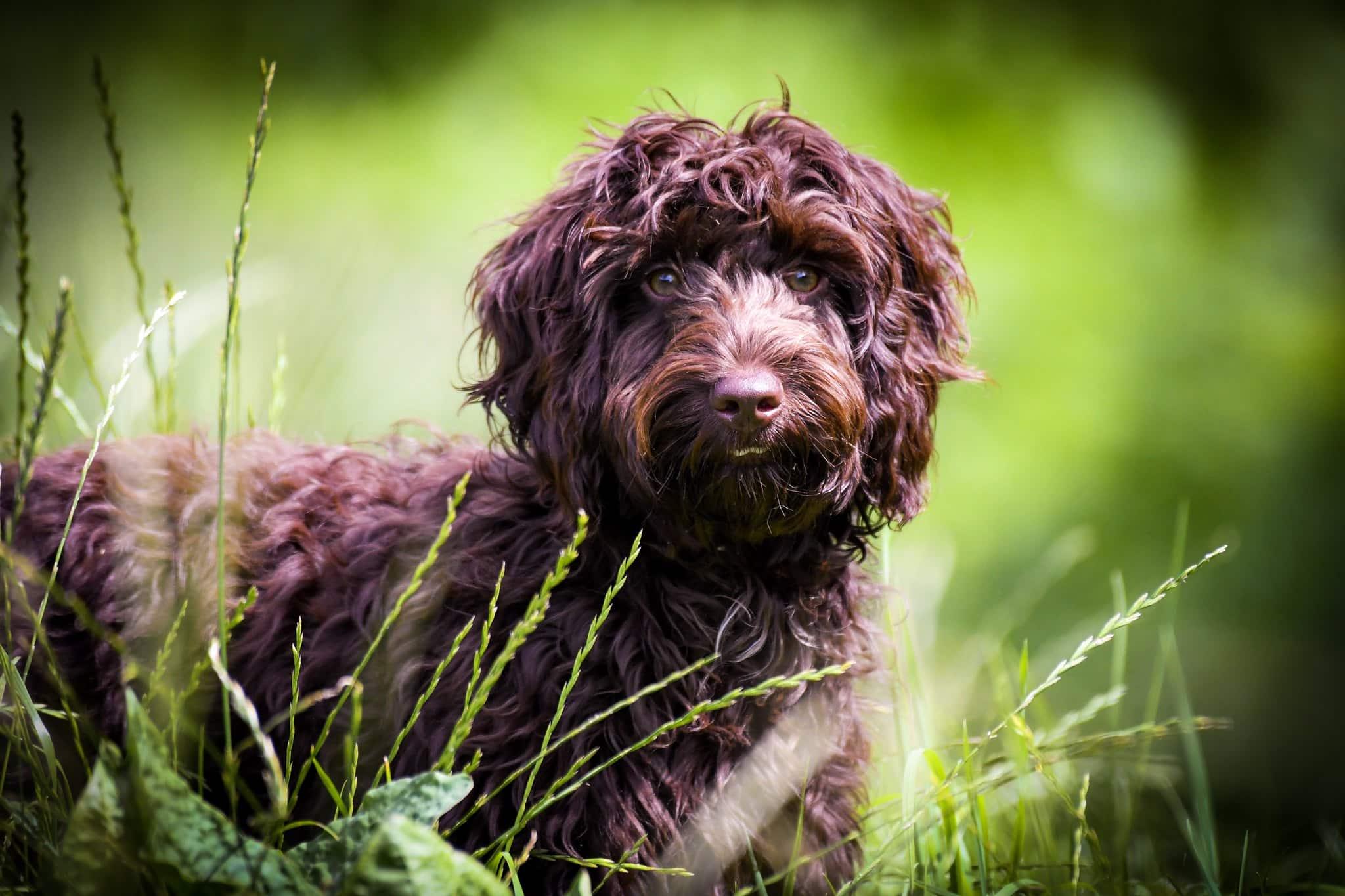 Кокапу (собака): помесь кокер спаниеля и пуделя