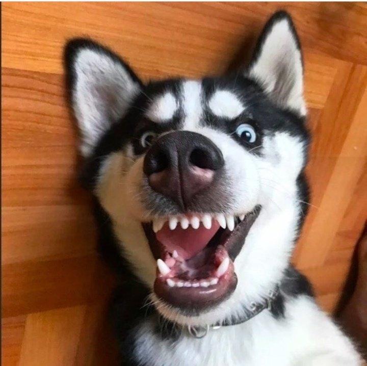 Смешные хаски — 20 прикольных фото и видео