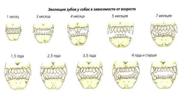Когда у собак меняются зубы на постоянные