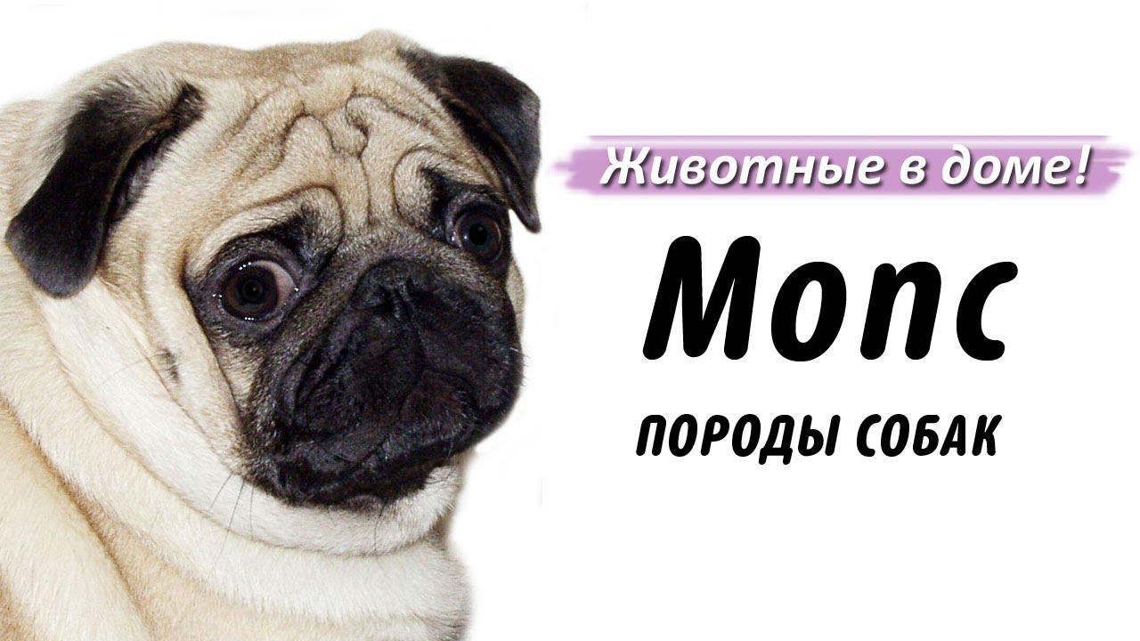 Собака мопс: все о породе и щенках, характеристика