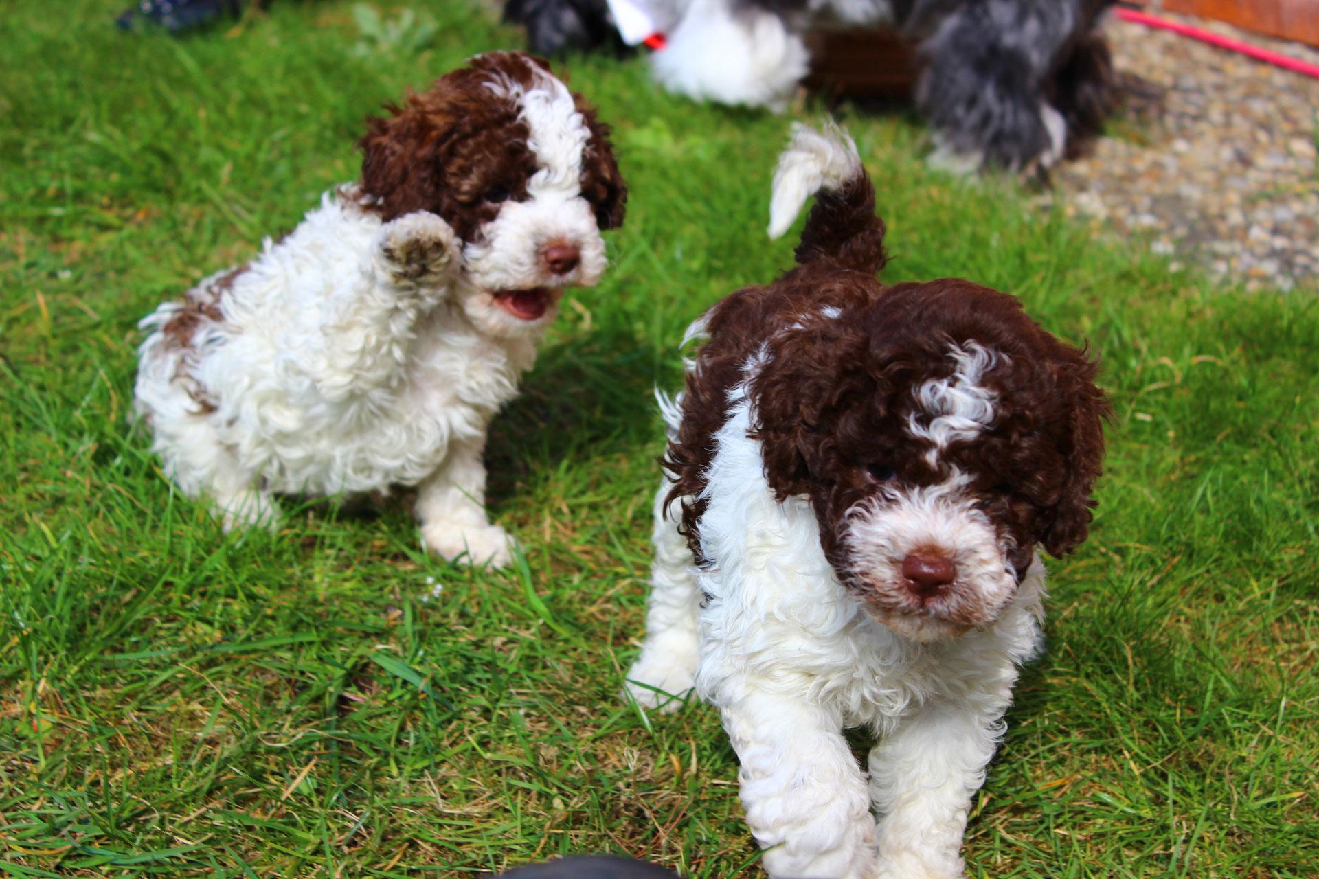 Испанская водяная собака: содержание питомца в домашних условиях
