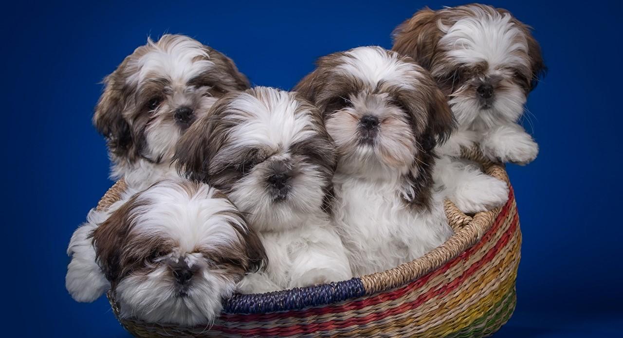 Ши-тцу — порода собак