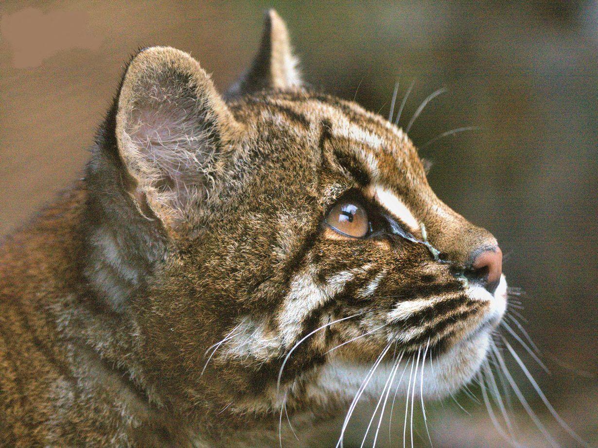 Темминка — золотистая азиатская кошка