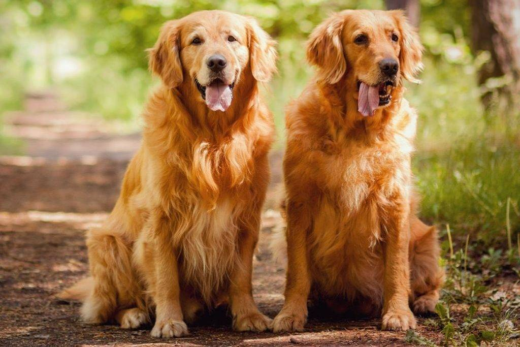 Ховаварт (порода собак): описание породы, отличия