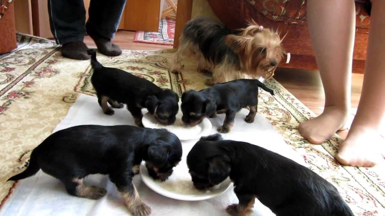 В каком возрасте отдают щенков и забирают от матери