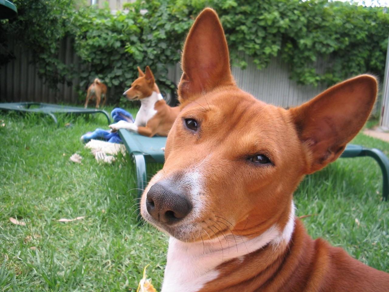 Собаки, которые не лают или лают мало: рейтинг молчаливых питомцев