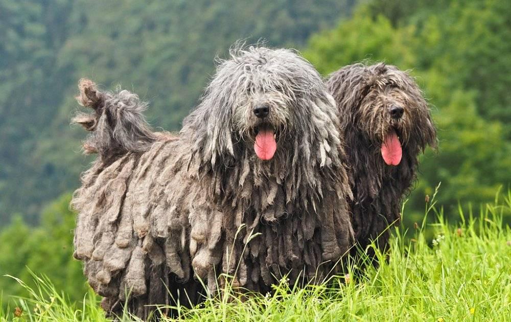 Пёс в овечьей шкуре: обзор собак с дредами