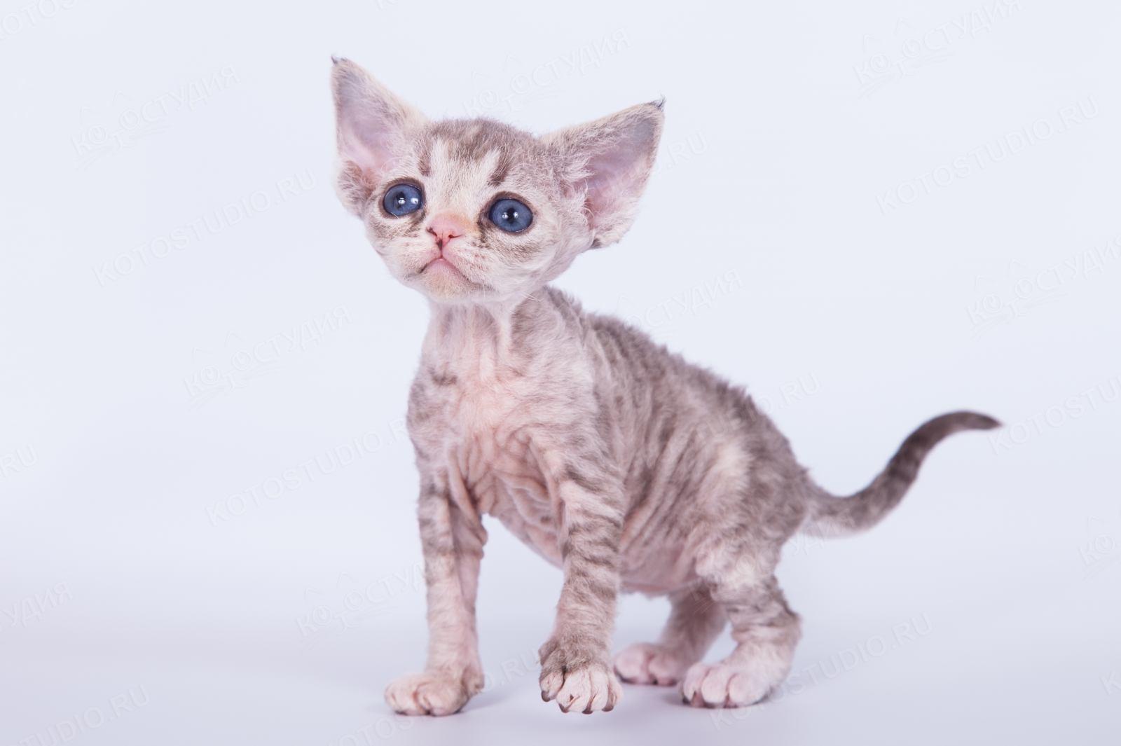 Девон Рекс: коты и кошки