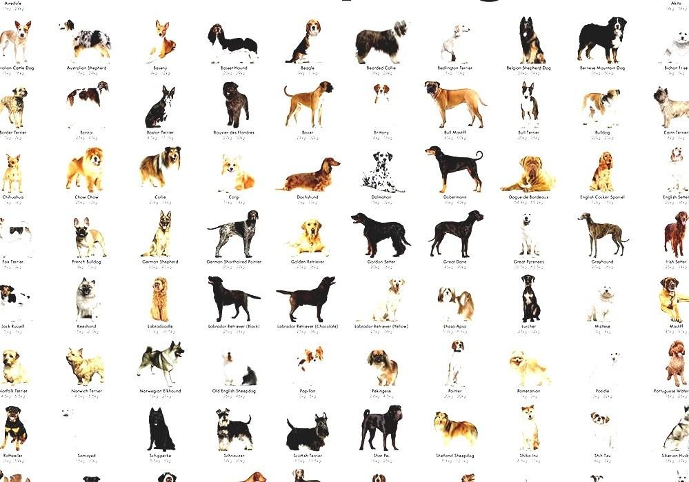 5 пород собак с «кошачьим» характером