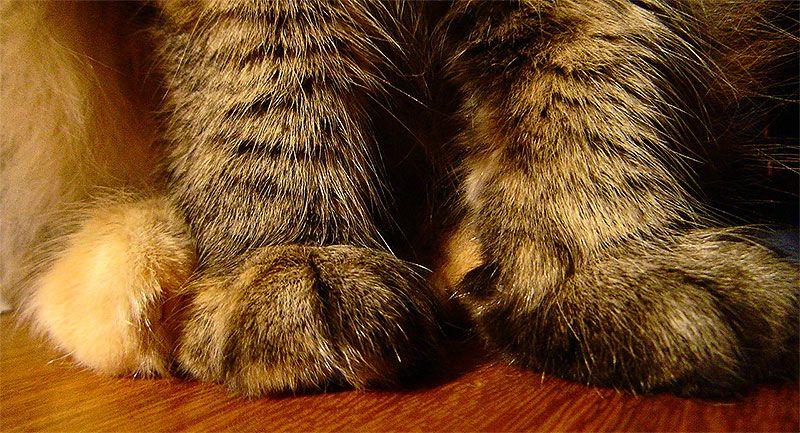 Почему кошка топчет лапками: основные причины и что это значит
