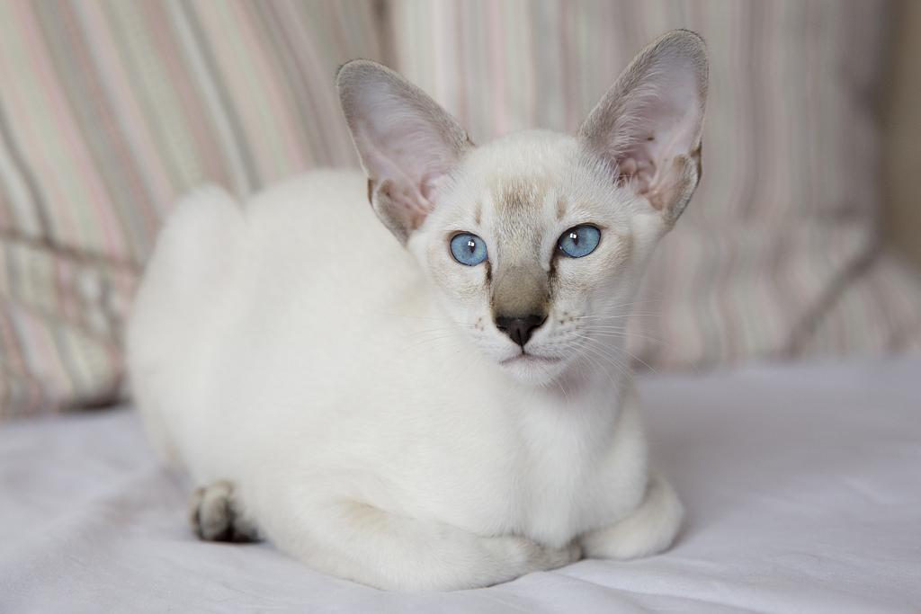 Форин Вайт: кошки и коты