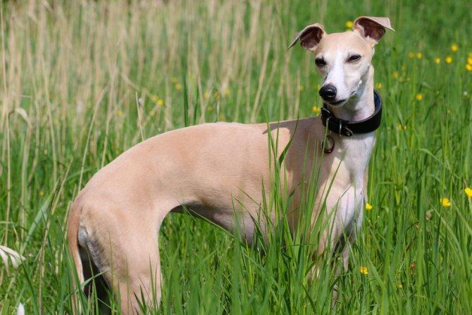 Молния среди собак — малая английская борзая уиппет