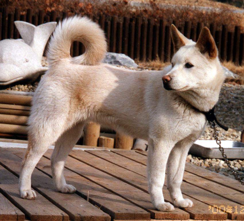 Пхунсан: загадочный пёс из Северной Кореи