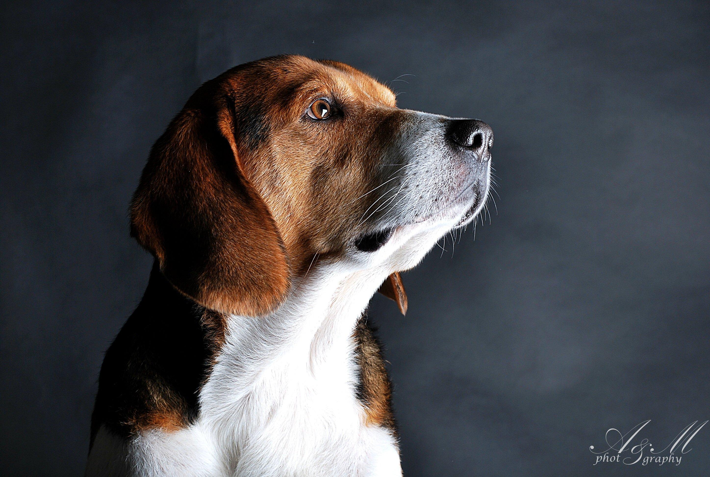 Эстонская гончая — порода собак