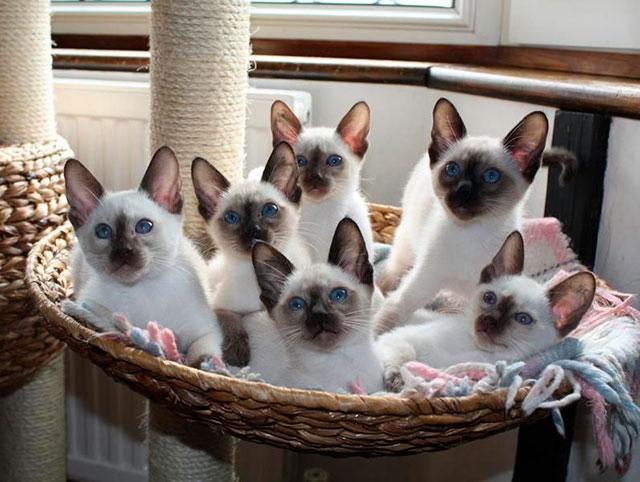Особенности приобретения и содержания тайской кошки