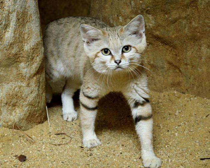 Особенности воспитания и образа жизни барханного кота