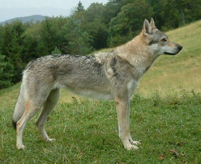 Чехословацкий влчак (волчья порода собак)