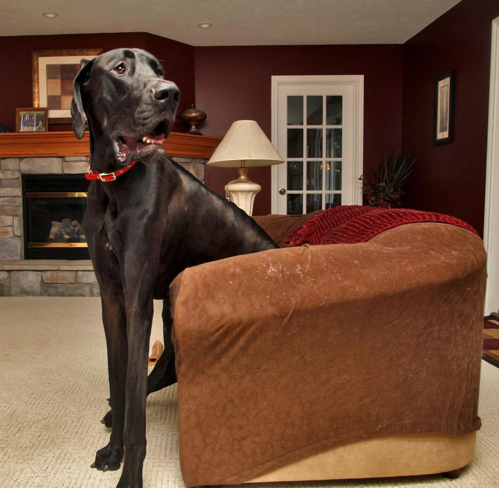 Четверка самых крупных пород собак, которые своим размером заполнят все пространство
