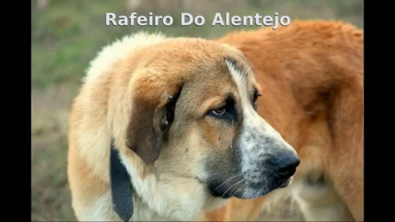 Рафейру ду Алентежу (Португальский мастиф)