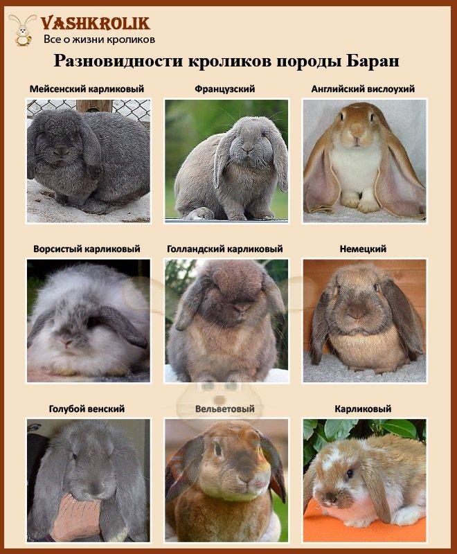 Кролик баран: характеристика французской породы, разведение и содержание