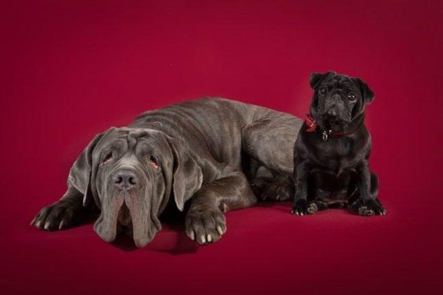 Молоссы (собаки): разновидности пород и обзор