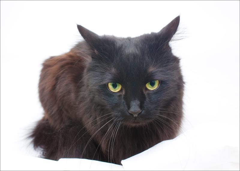 Шантильи тиффани (порода кошек): описание
