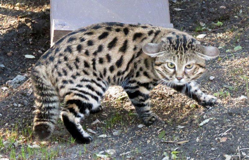 Африканская черноногая кошка (муравьиный тигр)