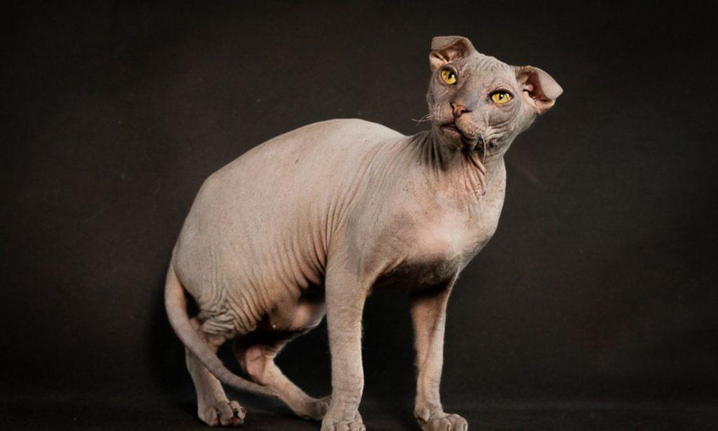 Украинский левкой: кошки и коты