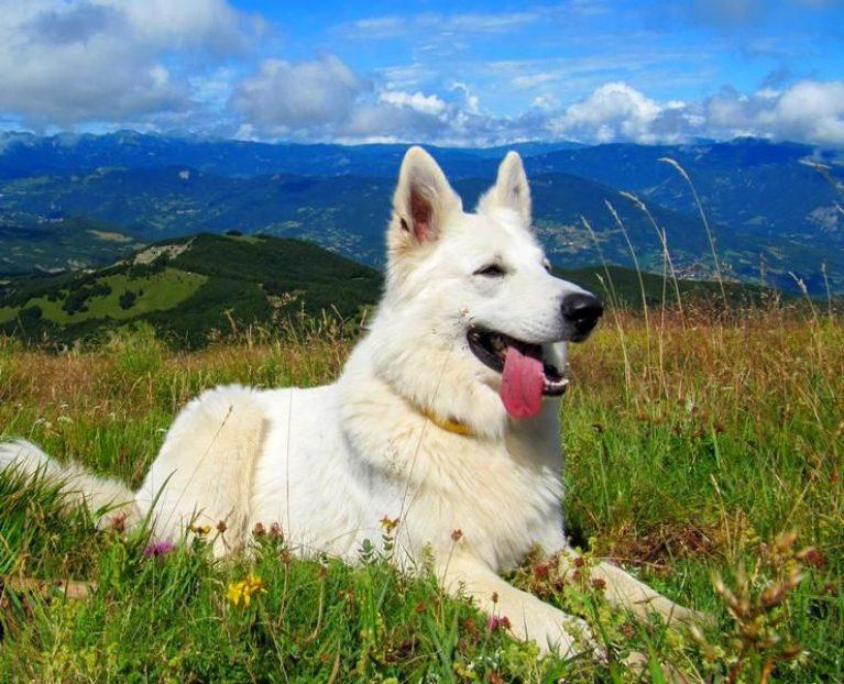 Белая швейцарская овчарка (американо-канадская овчарка)