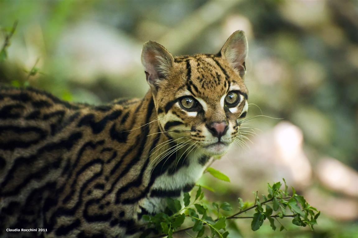 Оцелот (кошка): полный обзор дикой породы