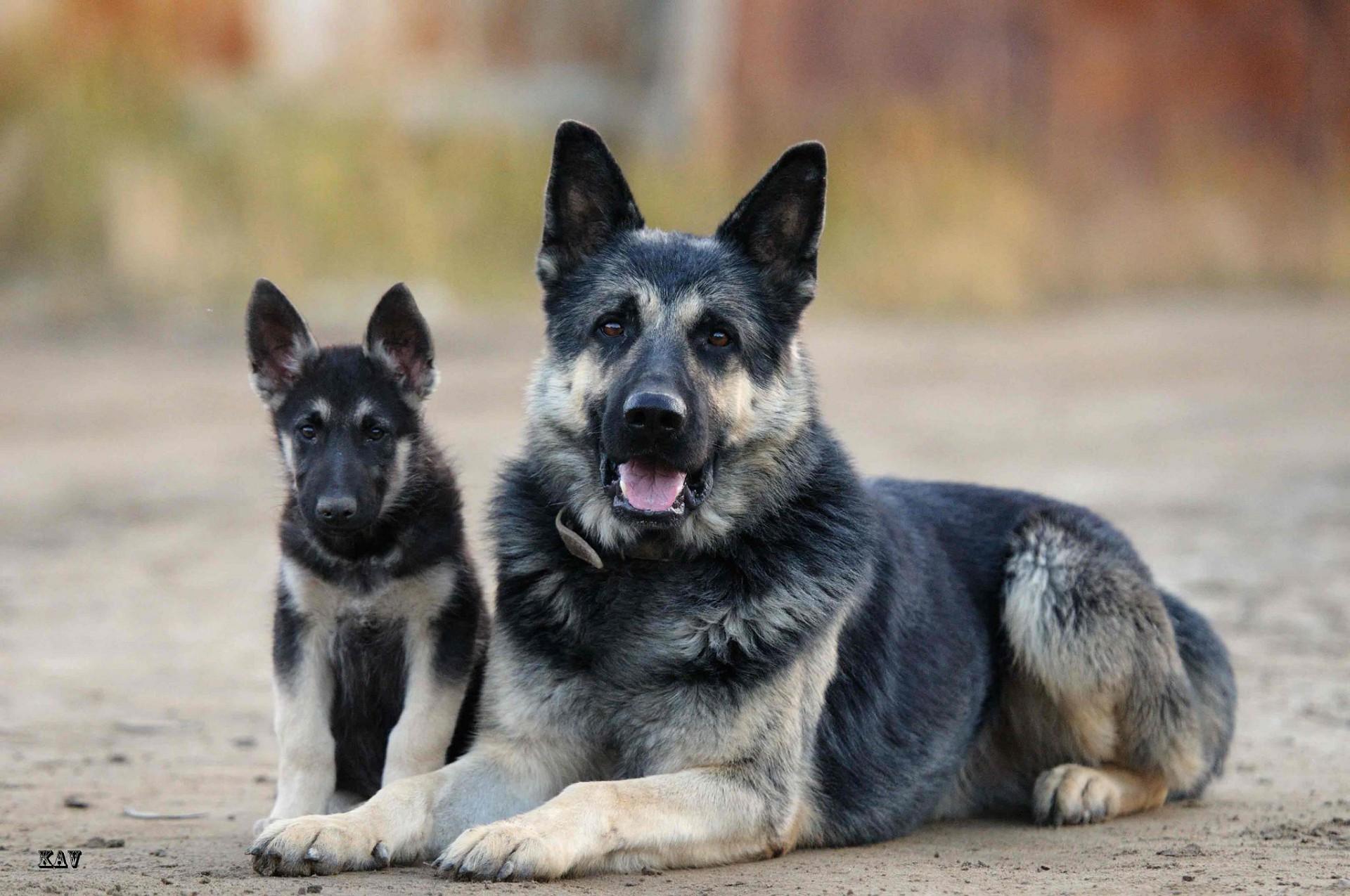 Исландская собака — шпиц по происхождению и овчарка по применению