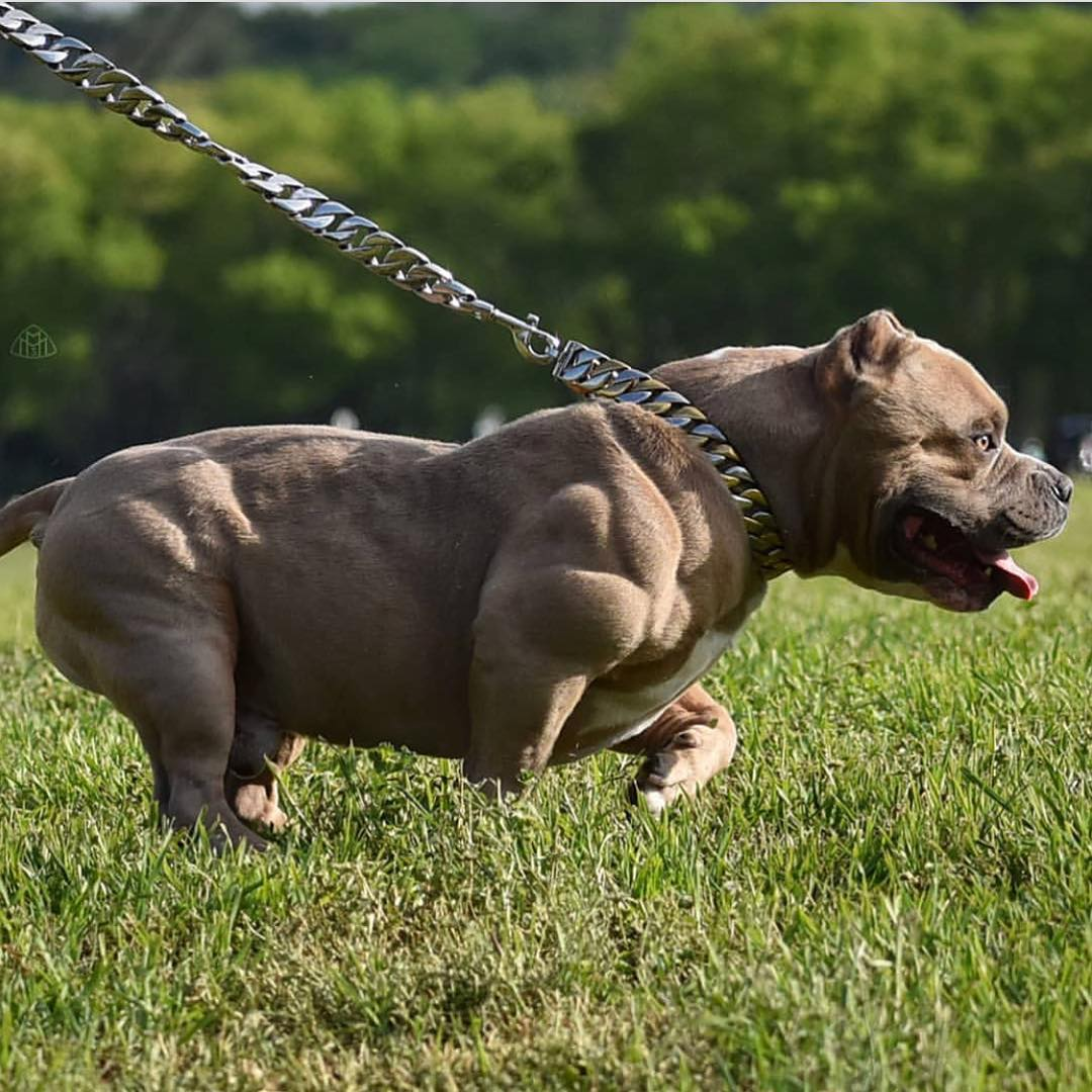 Накаченные собаки с мышцами: самые мускулистые в мире