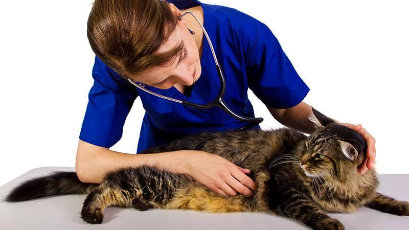 Как ухаживать за котом после кастрации в первый день