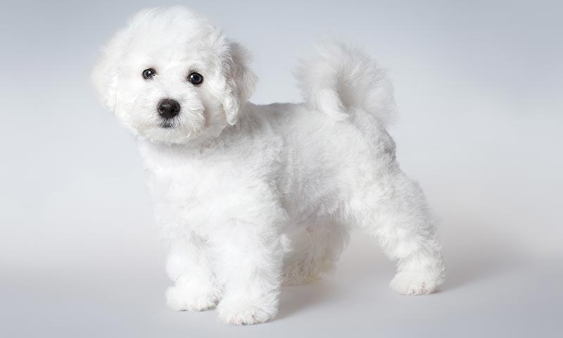 Котон де тулеар — миниатюрная собачка-компаньон