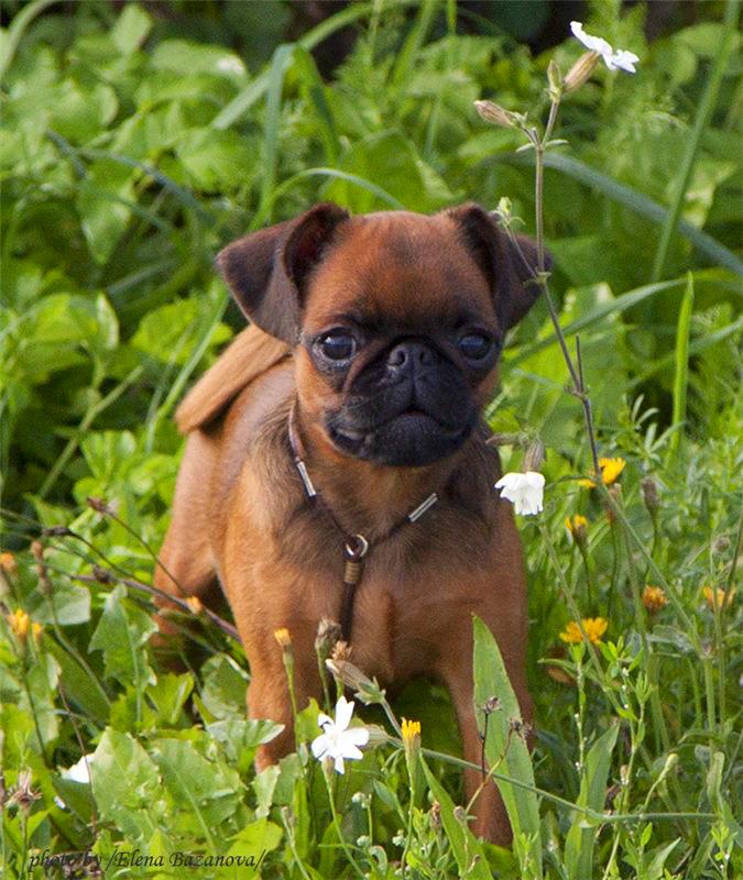 Пти-брабансон – маленький компаньон с бельгийскими корнями
