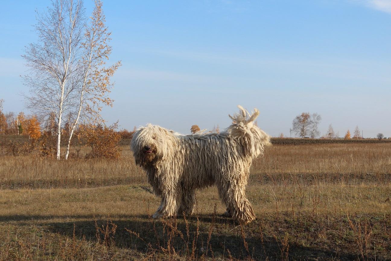 Венгерские овчарки (комондоры) — лучшие в мире охранники с дредами