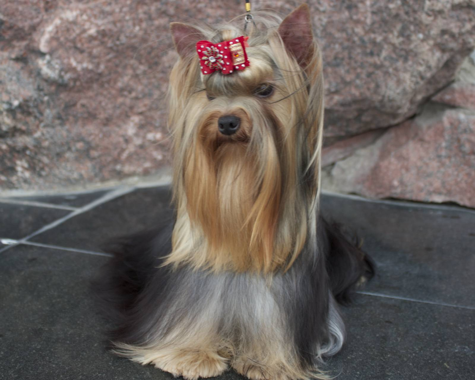 Йоркширский терьер: описание породы собак