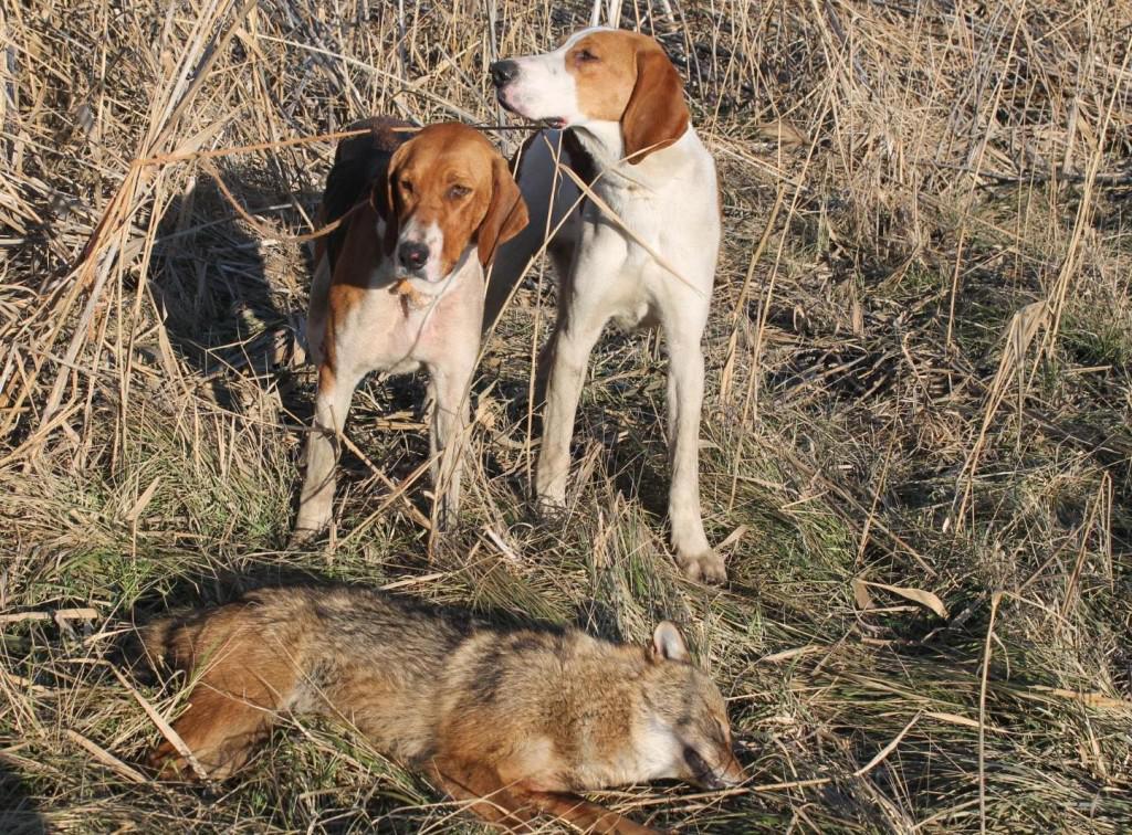 Русская гончая пегая собака: описание породы и характера
