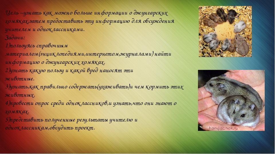 Джунгарский хомяк — кто это такой, как выглядит и что любит