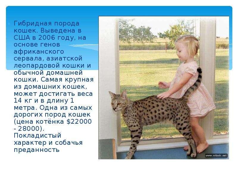 Леопардовая кошка — лучшие породы этого окраса