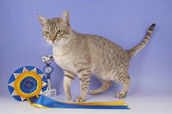 Австралийский мист: кошка дымчатая