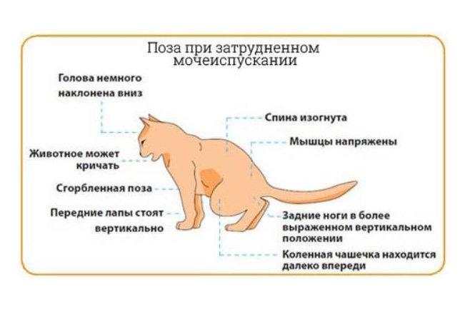 Отек легких у кошек: причины, симптомы, лечение
