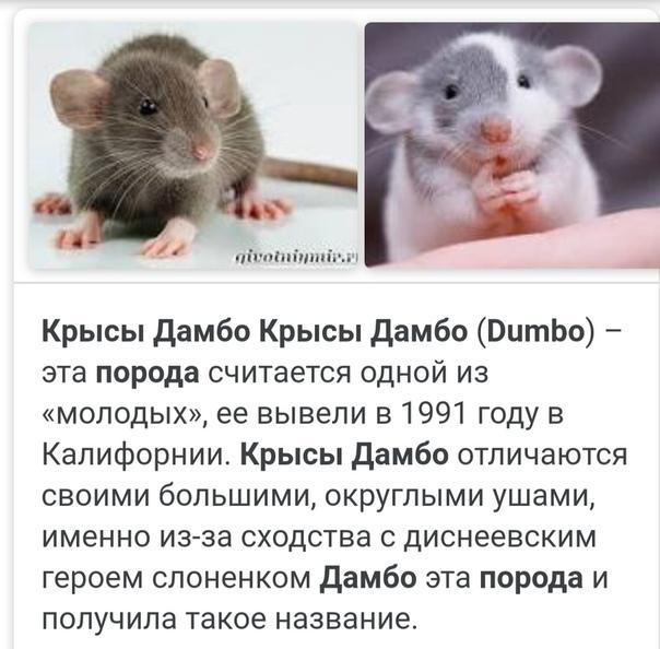 Декоративная крыса дамбо — информация о породе