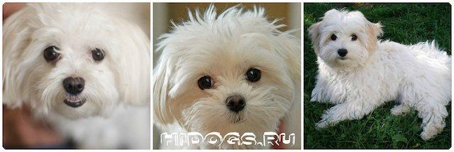Болоньез (итальянская болонка): описание породы собак