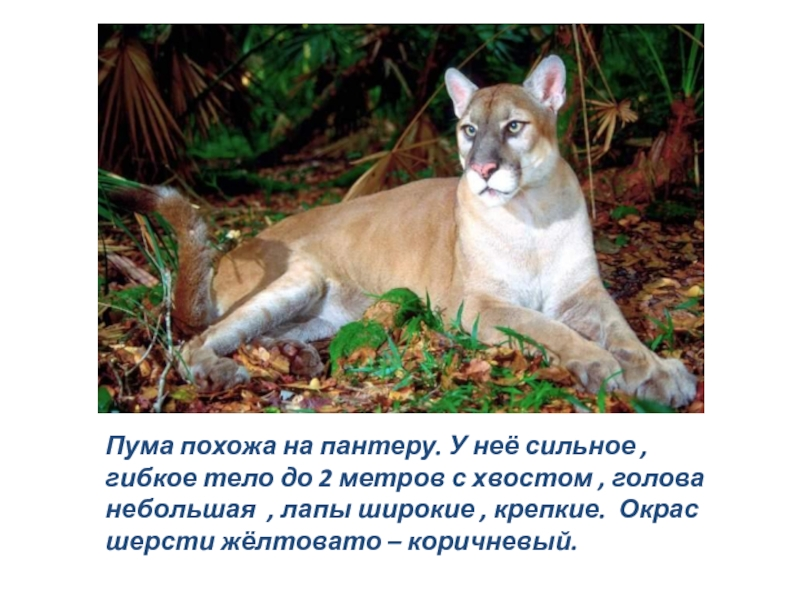 Пума — горный лев из Америки